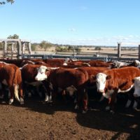 Hfd steers Inverell 31-5-16 e