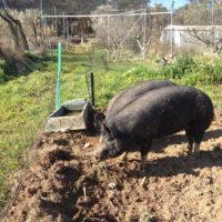 Berkshire Pigs