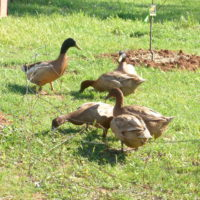 Our Khaki Campbell ducks