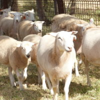 Our friendly Wiltipoll sheep – Copy