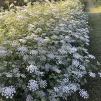 White Dill