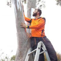 possum guarding gum tree