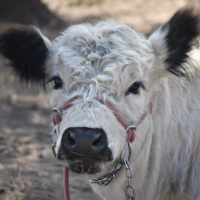 Blossum our mama Miniature Pointed Galloway cow
