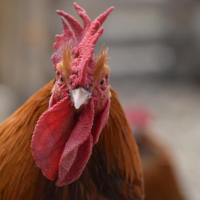 Hercules our old rooster