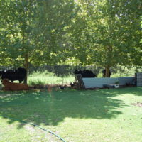 Cows and chickens under plane trees