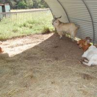 Goats in barn