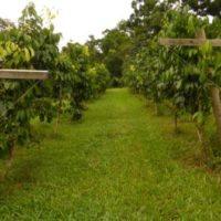 Trellised orchard