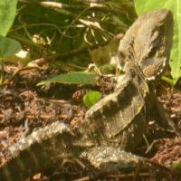 Water dragon in yard