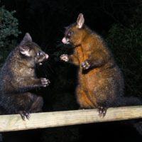 Grumpy possums 091