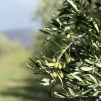 A view into the olive grove in the morning