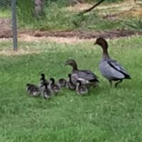 ducklings 2 oct