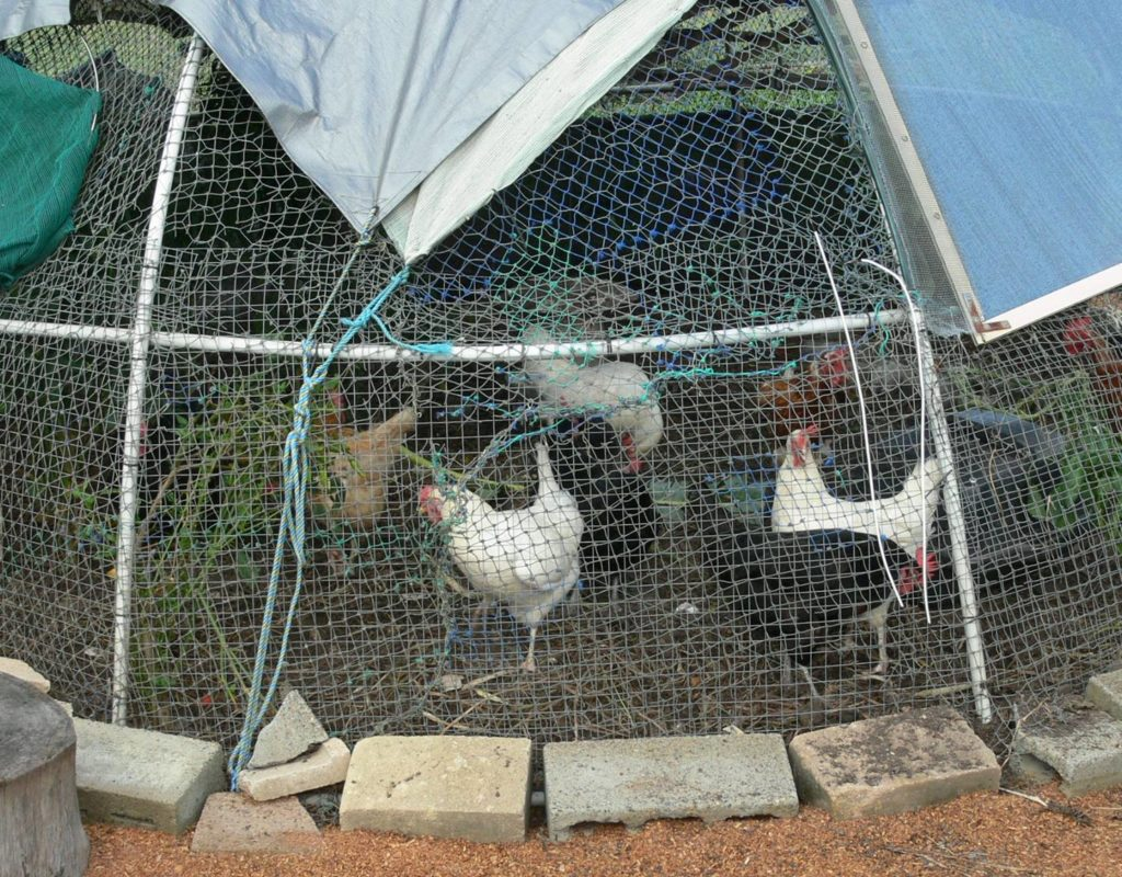 Our happy chooks in their moveable dome